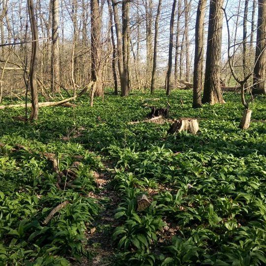 Frühlingsanfang heißt Bärlauchzeit – Bärlauchpaste